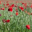 Stock Photo: Field of Poppies in Sussex