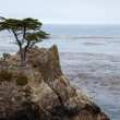 Monterey Cypress tree on the Carmel coast — Photo