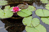 Water Lily (nymphaeaceae) — Stock Photo