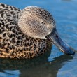 Stock Photo: Cape Shoveler (anas smithii)