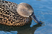 Cape Shoveler (anas smithii) — Stock Photo