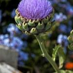 Globe Artichoke flower (Cynara Scolymus) — Foto Stock