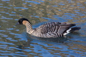 Hawaiian Goose (branta sandvicensis) — ストック写真