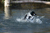 Barrows Goldeneye (Bucephala islandica) — Stock Photo