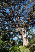 Tree on Hahei beach — Stock Photo