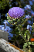 Globe Artichoke flower (Cynara Scolymus) — Stock Photo