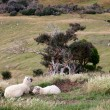Stock Photo: Sheep on Otago Peninsula