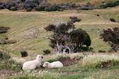 Sheep on the Otago Peninsula — Stock Photo
