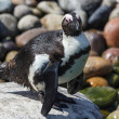 Stock Photo: AfricPenguin (Spheniscus demersus)