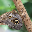 Owl Butterfly (caligo memnon).jpg — Stock Photo