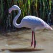Greater Flamingo (phoenicopterus roseus) — Stock Photo #41456819