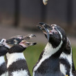 Stock Photo: Humboldt Penguin (Spheniscus humboldti)