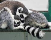 Katta (lemur catta) mit baby — Stockfoto
