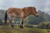 Przewalski's horse (Equus ferus) — Foto Stock