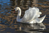 Adult Mute Swan on the River Great Ouse — Стоковое фото