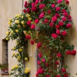 Roses around door of property in Pienza — Stock Photo #41563035