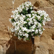 Display of white Petunias attaced to wall in Pienza — Stock Photo #41567255