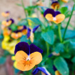 Violas attaced to a wall in Pienza Tuscany — Stock Photo #41567793
