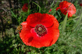 Bee approaching a Tuscan Poppy — Stock Photo