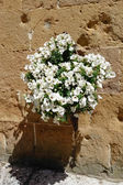 Display of white Petunias attaced to a wall in Pienza — Stock Photo