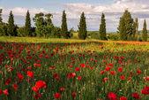 Poppy field in Tuscany — Stock Photo