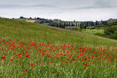 Poppies flowering in Val d'Orcia Tuscany — Stock Photo