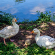 Domesticated geese living wild in Roath Park — Stock Photo #41590861