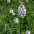 Stock Photo: Heath Spotted Orchid (Dactylorhizmaculatericetorum)