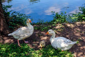 Domesticated geese living wild in Roath Park — Stock Photo