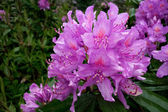 Close-up of a Rhododendron covered with raindrops — Stock Photo