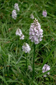 Heath Spotted Orchid (Dactylorhiza maculata ericetorum) — Stock Photo