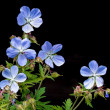 Geranium pratense (Meadow Cranesbill) — Stock Photo #41609357