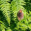 Stock Photo: Small Heath (Coenonymphpamphilus) butterfly