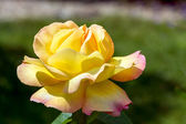 Yellow Rose (Peace) — Foto de Stock