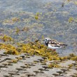 Ruddy Turnstone (Arenaria interpres) — Stock Photo #41612235
