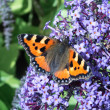 Stock Photo: Small Tortoiseshell (Aglais urticae) feeding