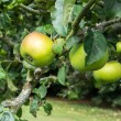 Apples ripening on bough — Stock Photo #41615083