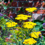 Yarrow Achillea Ageratum yellow flower head — Stock Photo #41615127