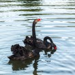 Stock Photo: Black Swans (cygnus atratus)