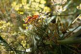 Soldier Beetles (Rhagonycha fulva) — Stock Photo