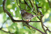 Dunnock in a Pear tree — Stock Photo