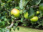 Apples ripening on the bough — Stock Photo