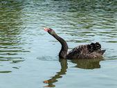 黑天鹅 (天鹅座 atratus) — 图库照片