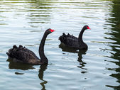 Black Swans (cygnus atratus) — Stock Photo