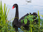 Black Swan (cygnus atratus) — Stock Photo