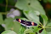 Postman Butterfly (heliconius melpomene) — Stock Photo