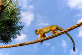 Common Squirrel Monkey (Saimiri sciureus) — Stock Photo
