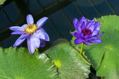 Lotus Flower (Nelumbo nucifera) — Stock Photo