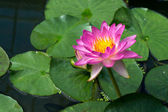 Lotus Flower (Nelumbo nucifera) — Stock Photo