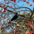 Stock Photo: Crow (Corvus) in RowTree